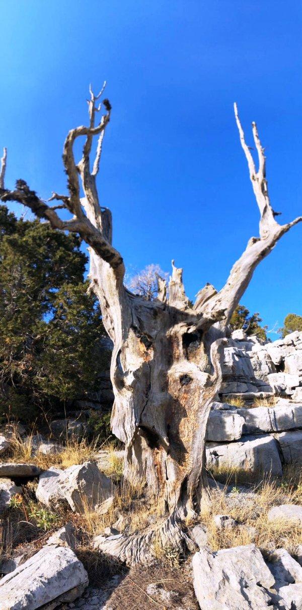 toroslarin-bin-yillik-sahitleri;-ardic-agaci--(2).jpeg