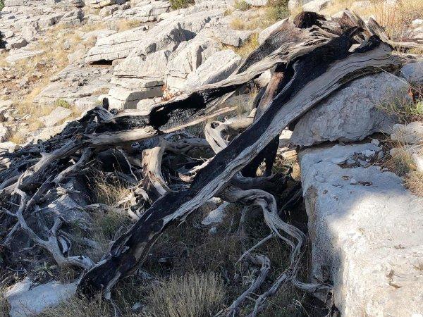toroslarin-bin-yillik-sahitleri;-ardic-agaci--(3).jpeg