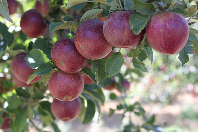 yalihuyuk-elma--(1).jpg