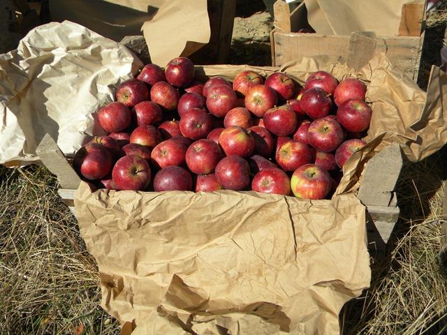 yalihuyuk-elma--(5).jpg