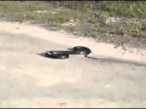 Uyuşturucunun yılan üzerindeki etkisi