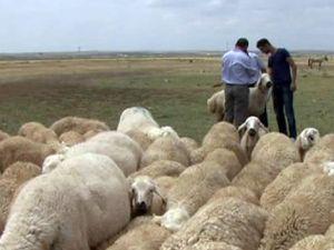 Evlenemeyen Aksaraylı çobanların isyanı