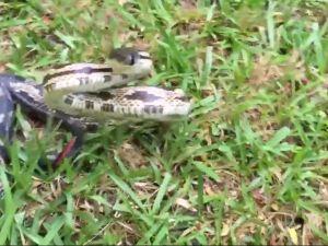 Yılanı okşama isteği kötü bitiyordu