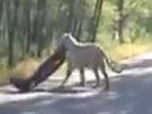 Kaplan, yolda bekleyen arabanın tamponunu çaldı