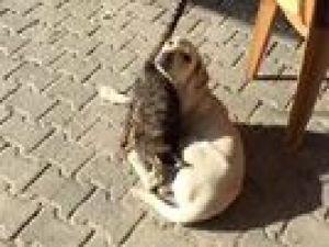 Kedi ve köpeğin dostluğu şaşırttı