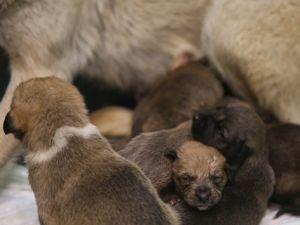 Fedakar köpek 9 yavruya hayat verdi