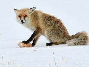 Sarıkamış'ta aç kalan tilkiyi ekmekle besledi